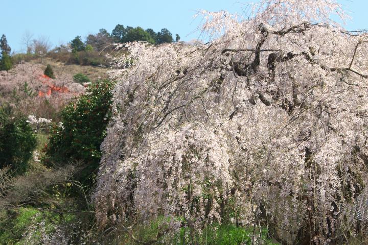 弾正糸桜1405