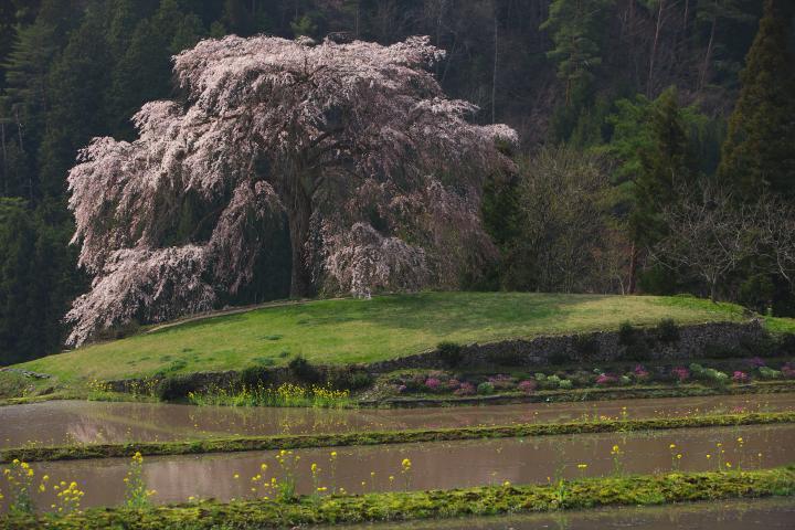 与一野のしだれ桜1401