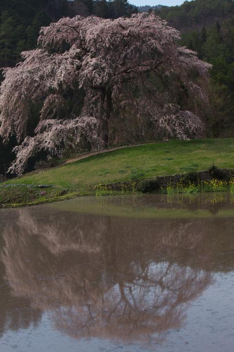 与一野のしだれ桜1404