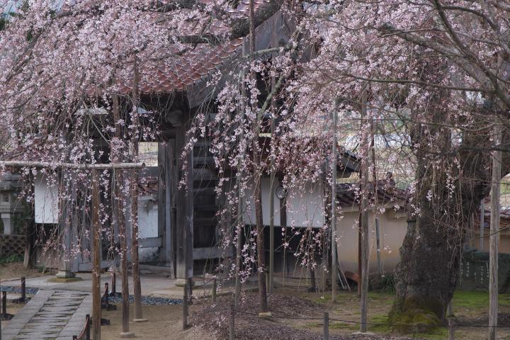 圓立寺のしだれ桜1401