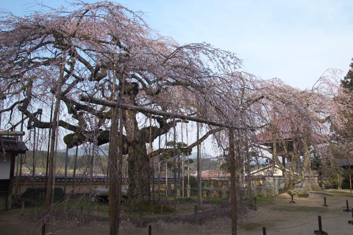 圓立寺のしだれ桜1402