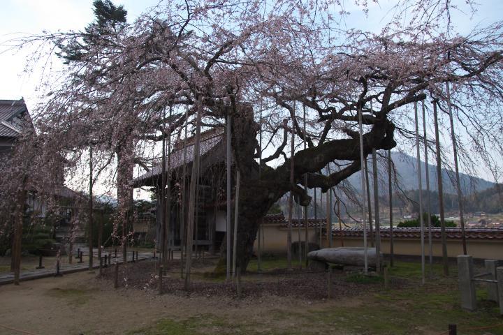 圓立寺のしだれ桜1404