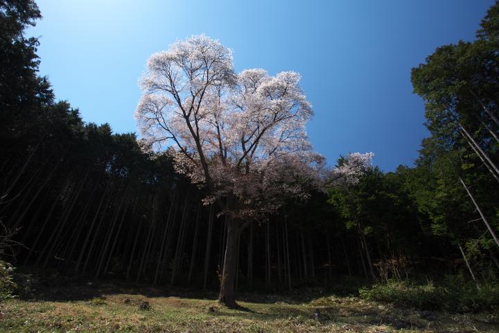 金松桜1401