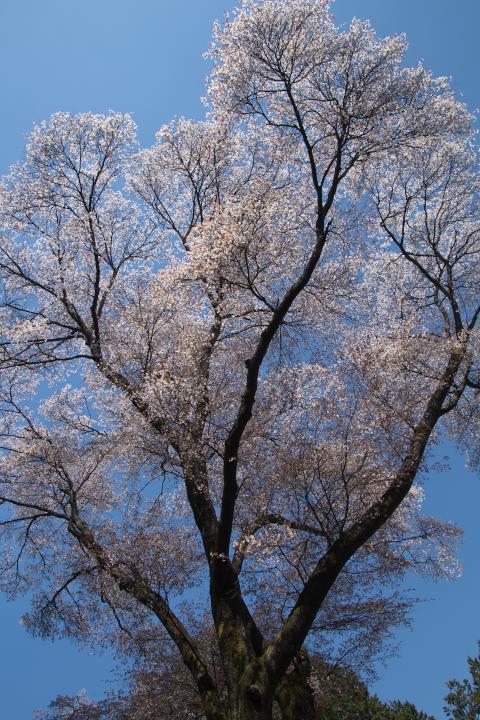 金松桜1404
