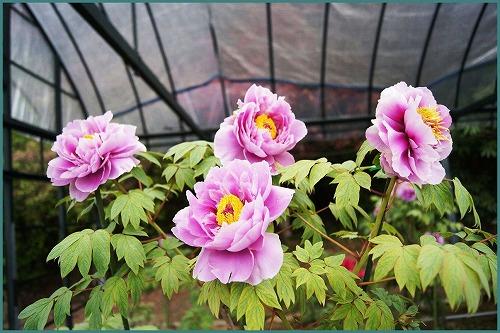 花しょうぶ 園2058