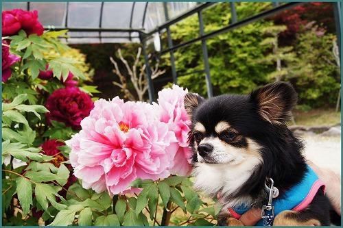 花しょうぶ 園2061