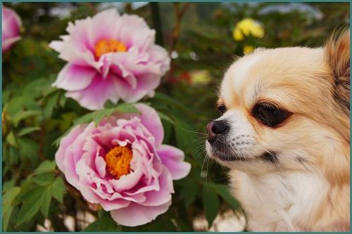 花しょうぶ 園2067