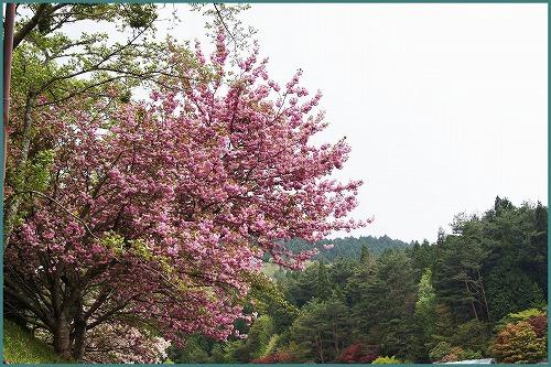 花しょうぶ 園2072