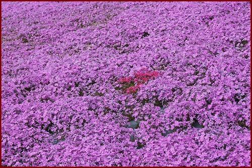 芝桜2088