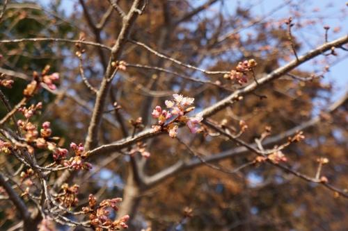 11住吉神社河津桜 (1200x800)