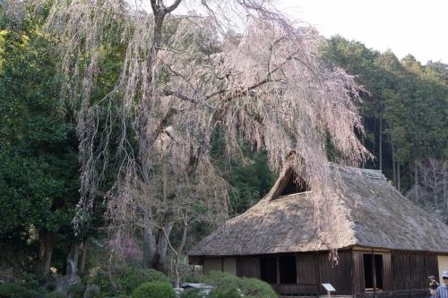 3高麗住宅の枝垂れ (1200x800)