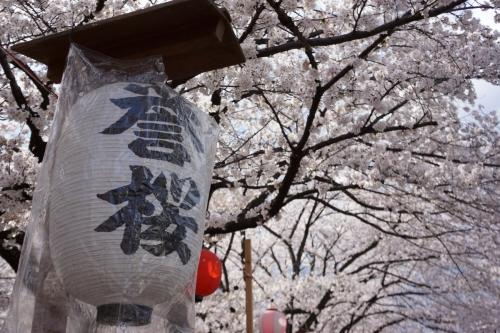 15誉桜 (1200x800)