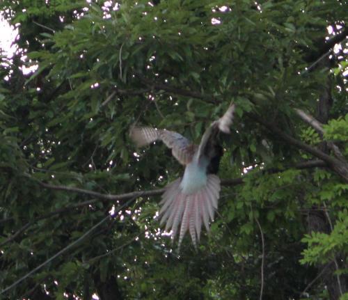不死鳥 2