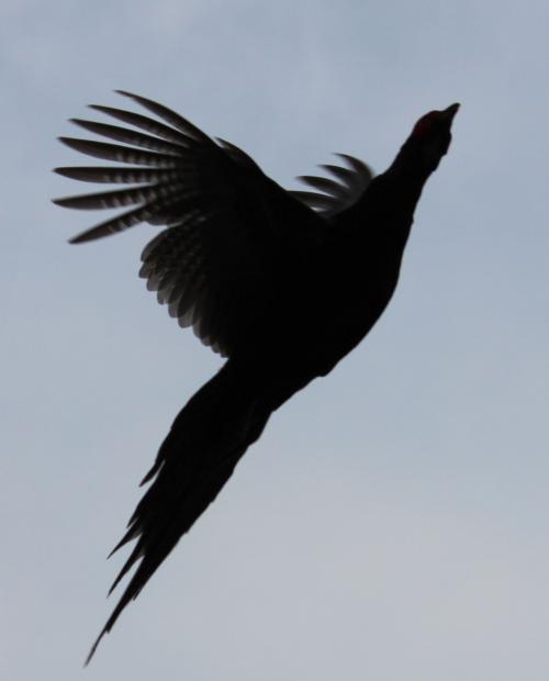 不死鳥 1