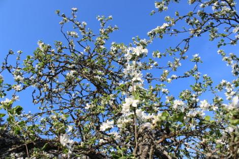 Omena puu