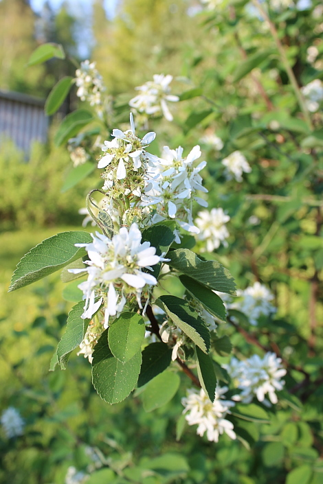 Marja kukka