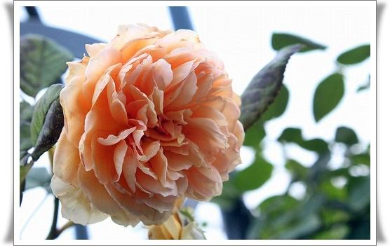 s-140623クラウン・プリンセス・マルガリータIMG_8766