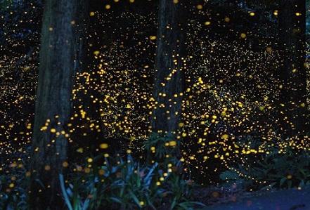 firefly-kuala-selangor2_2.jpg