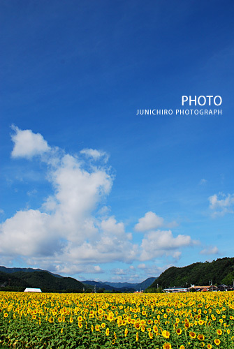 結婚式の写真 京都・町家のウエディングフォトグラファー日記-ひまわり畑