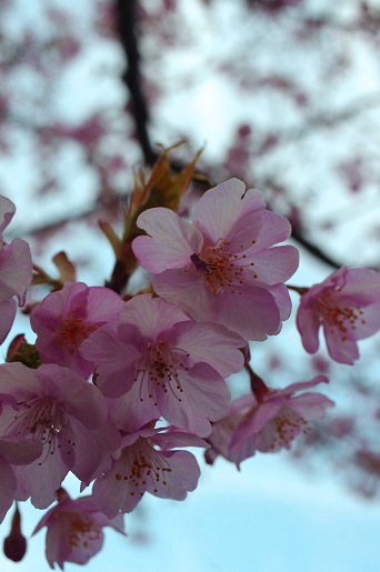 2014河津桜