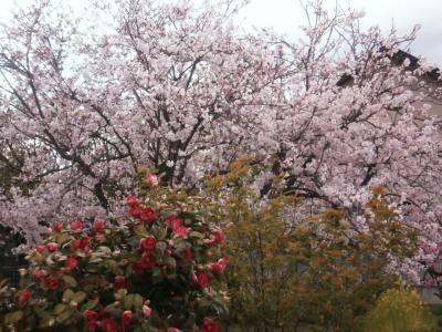 椿越しの桜
