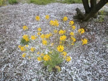 すももの花吹雪