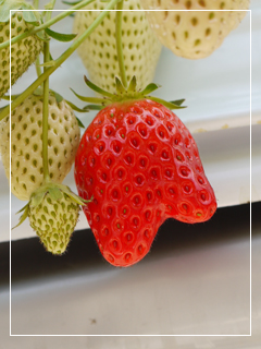 springStrawberry04.jpg