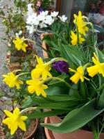 daffodils0314
