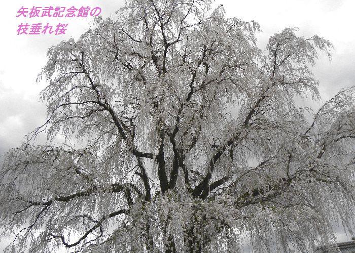 矢板武記念館の枝垂れ