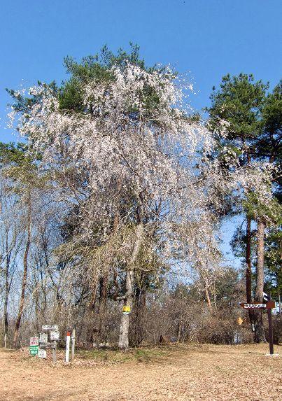 カタクリ山頂上の一本桜