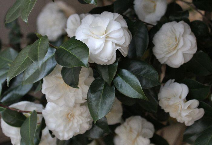 日陰の白椿