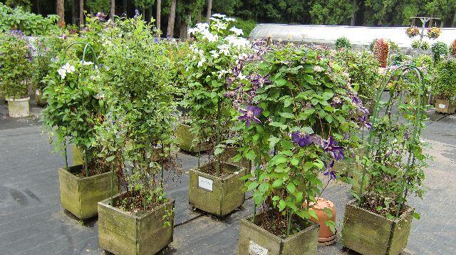 庭園のクレマチス