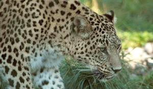 804px-Persischer_leopard2cele4_s.jpg
