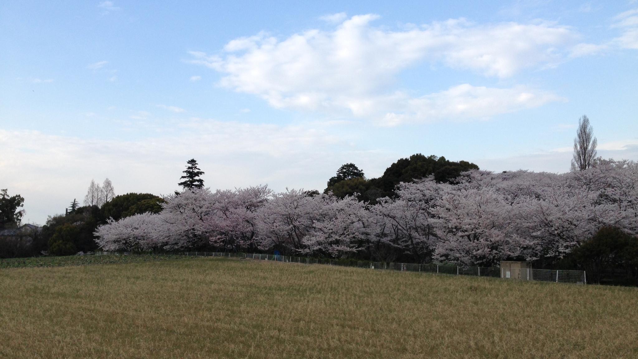 大井関桜1