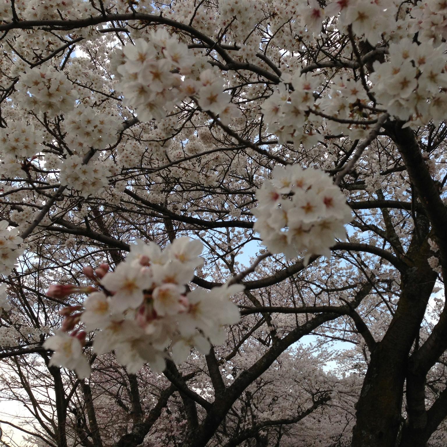 大井関桜3