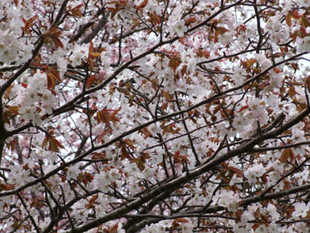 20140513_憩いの広場桜3