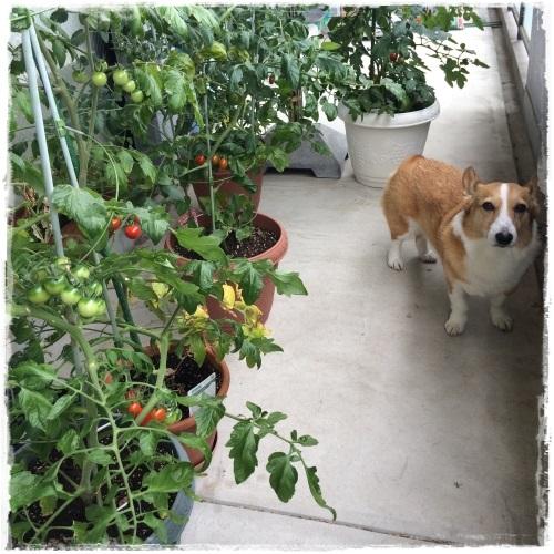 tomato978.jpg