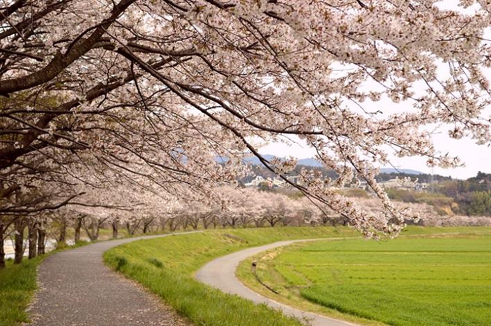 DSC_1949 140407 桜
