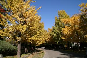 中島公園の銀杏