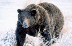 冬眠前の熊