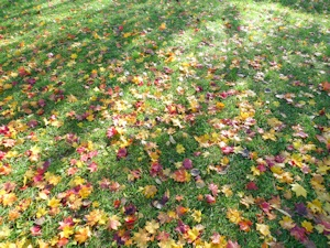 綺麗な落葉