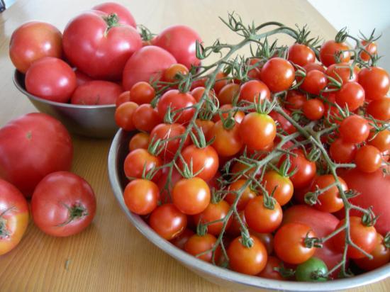 食べきれないトマト達