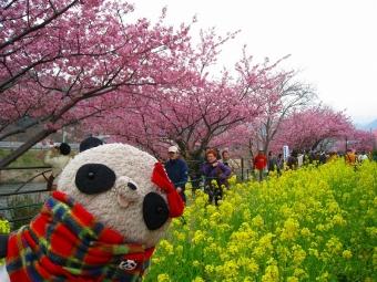 ばぶちゃん河津桜と菜の花