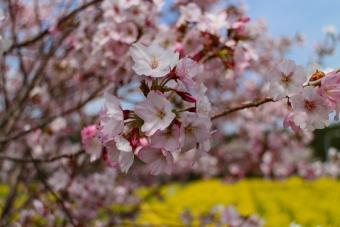 裾野の桜のアップ