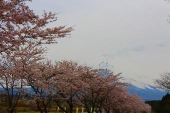 うっすら富士山と桜