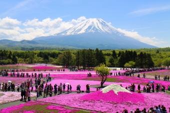 富士芝桜まつり2014