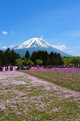 富士芝桜01