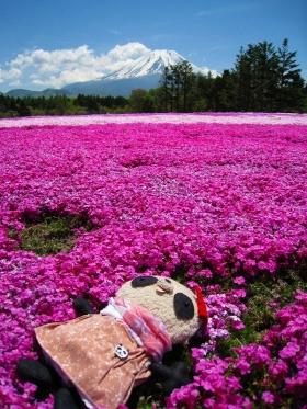 芝桜お昼寝おばぶ
