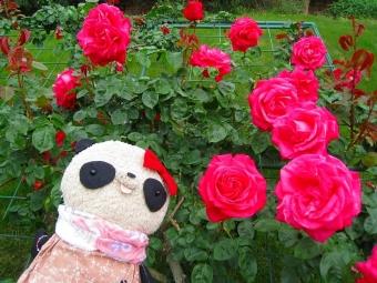 おばぶと大輪のバラ