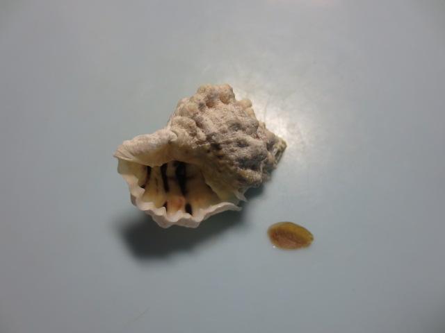 シロミオキニシ